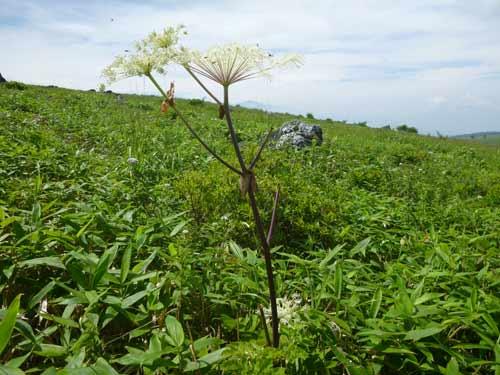 シカの食べ痕が残る植物